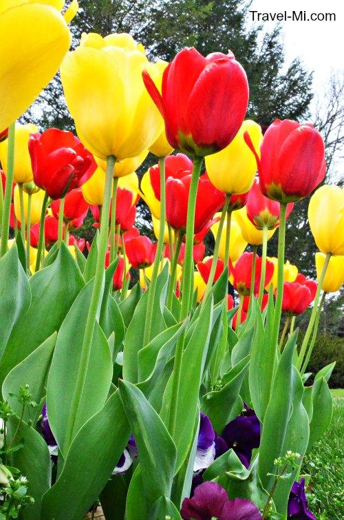 Holland Tulip Tracker