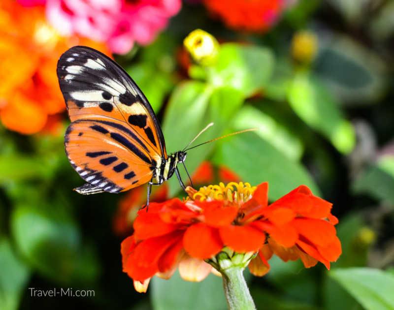 Dow Gardens Butterflies in Bloom