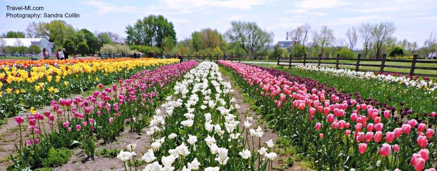 Holland Michigan Tulip Festival 2020.Holland Michigan Tulip Festival