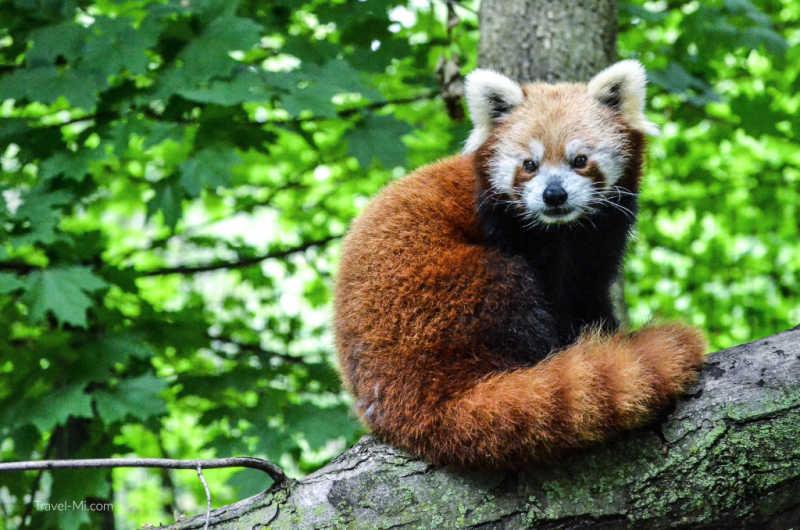 Red Panda, Binder Park Zoo, Battle Creek, MI