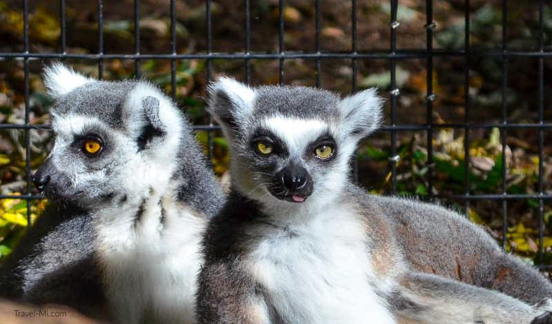 Lemurs, Binder Park Zoo, Battle Creek, Michigan