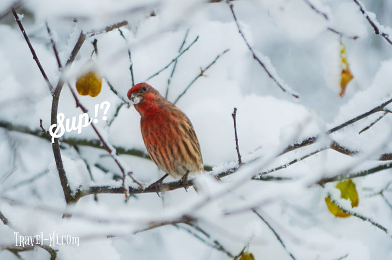 Michigan Birds