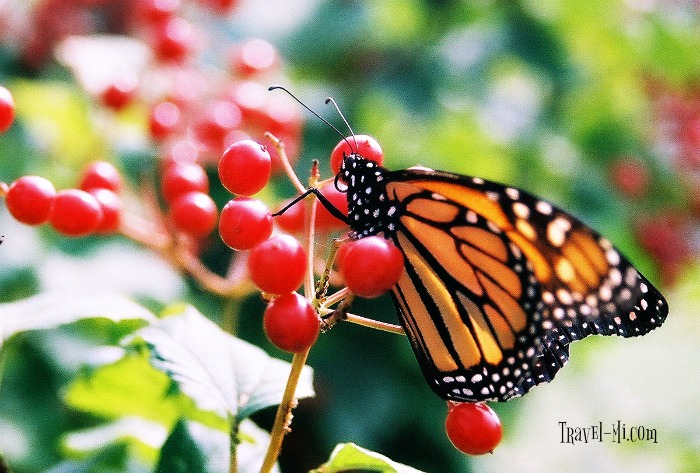 Butterfly Houses in Michigan!