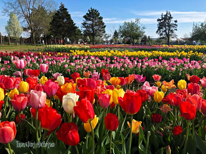 Veldeer's Tulip Farm in Holland, Mi